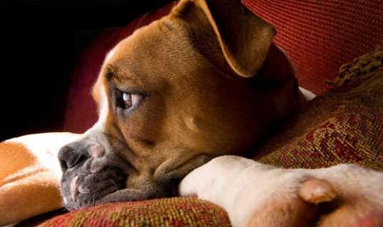 狗真的可以告訴他們的主人感覺如何
