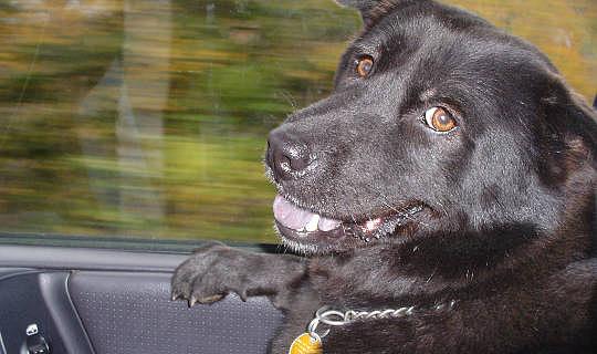 Собаки пытаются сказать нам что-то с их выражениями?
