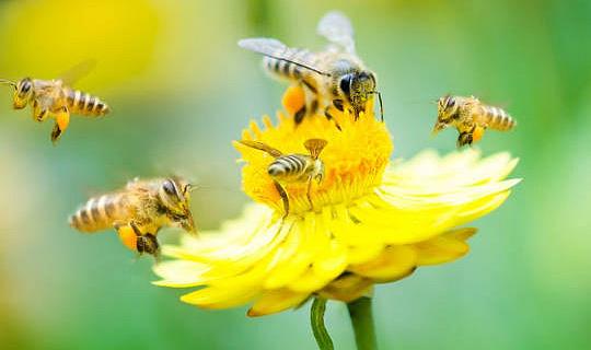 Honeybees Hog The Limelight,然而野生昆蟲是最重要和最脆弱的傳粉者