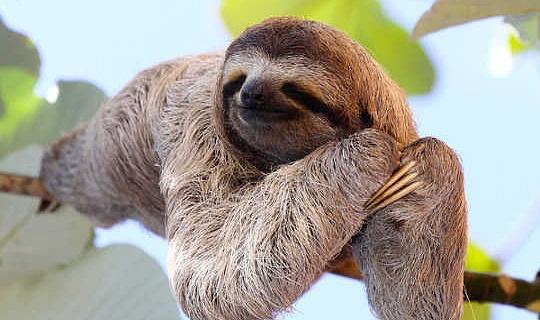 On The Virtues Of Sleeping Like A Sloth