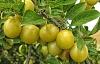 พลัมคาคาดูเป็นอาหารนานาชาตินานนับพันปีในการทำ