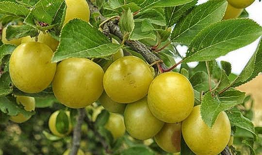 Kakadu Plum是一种国际超级食品,在制作过程中已有数千年的历史