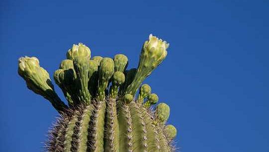 ¿Por qué los cactus son tan jugosos? La estrategia secreta de las suculentas