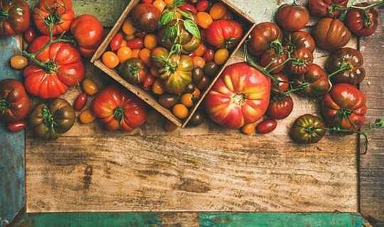الطماطم الحديثة تختلف كثيرا عن أسلافها البرية