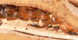 ตัวต่อเพลี้ยอ่อนและมดและผู้ผลิตน้ำผึ้งอื่น ๆ