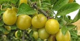La prugna di Kakadu è un superfood internazionale in migliaia di anni