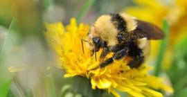 Vårsignaler Kvinnliga bin för att lägga nästa generation av pollinatorer