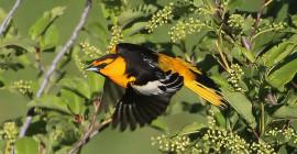 Mengapa Sebilangan Burung Songbang Migratory Pit-Hentikan Untuk Mengganti Bulu Yang Memakai dan Ragged