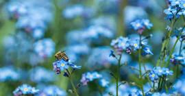 Mysteriet med den blå blomman: Naturens sällsynta färg tackar dess existens till bievision