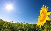 Что делает подсолнухи лицом к солнцу?
