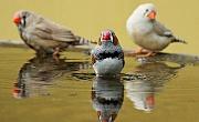 http://maxpixel.freegreatpicture.com/Zebra-Finch-Birds-Water-Bottle-Red-Red-Beak-Bill-1440055