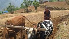 Hierdie Nepalees boere gebruik 'n hernubare verskaffing van groenbemesting