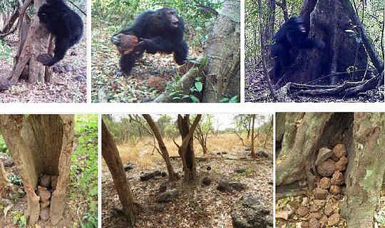 神秘的なチンパンジーの行動は「神聖な」儀式の証拠となることがある