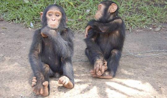 Kijk hoe moeder jonge chimpansees leert gebruiken