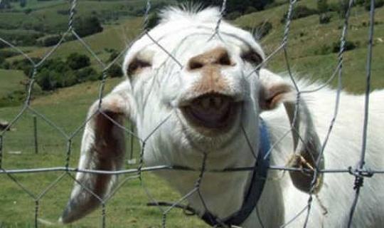 염소, 양 및 소는 사람의 가장 친한 친구의 직분에 개들을 도전 할 수있다.