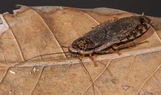 La Cucaracha bastante guapo manchada de norte-este de África se ha extendido por todo el mundo con ayuda humana. Anthony O'Toole