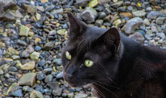 Morris Cat