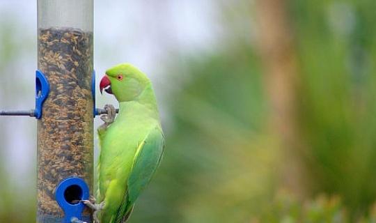 長尾小鸚鵡是否適合全球統治?