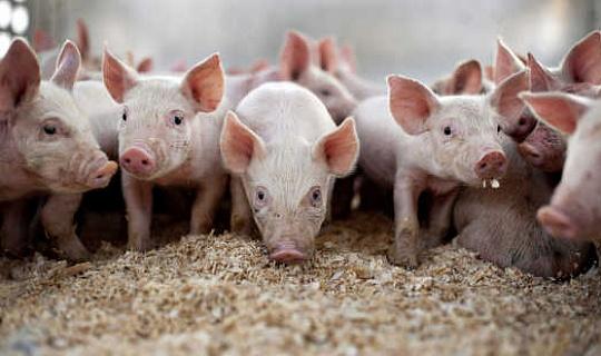 पिग फार्मों पर एंटीबायोटिक्स के बारे में चेतावनी