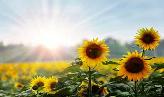 Bitkiler neden güneş yanığı almıyor?