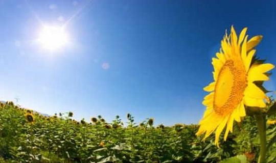 Vad gör solrosor inför solen?