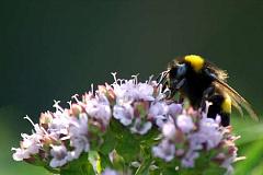 Cette herbe commune pourrait apporter des abeilles qui bourdonnent à votre jardin