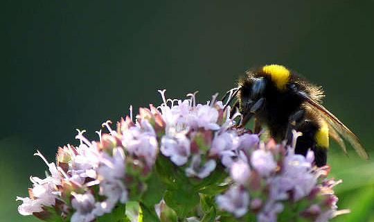 هذا عشب مشترك يمكن أن يجلب النحل الغمغمة إلى حديقتك