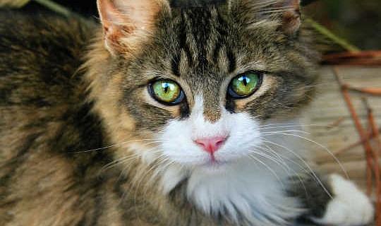 एक बिल्ली और मानसिक बीमारी के मालिक के बीच एक लिंक है?