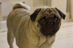 Por qué los perros ayudarán a su llanto humano