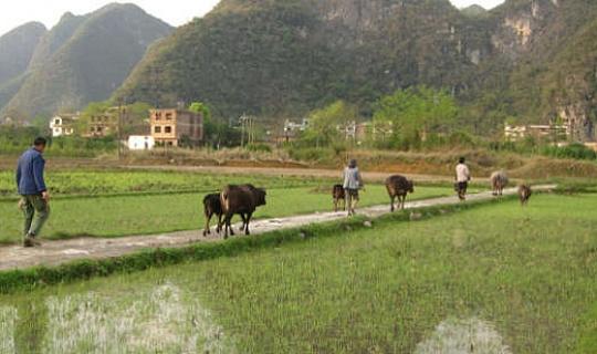 Çin'in Kömürüyle İlgili Bir Başka Sorun Pirinçte Civa