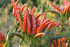 Obtenir chaud et moite: Comment la chaleur et les épices peuvent affecter notre appétit