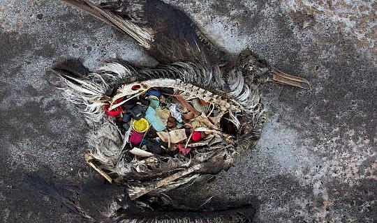 Sisi ni Nguruwe za Ginea Katika Jaribio la Ulimwenguni Pote Katika Microplastics