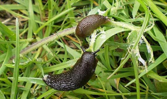 क्यों ज़ोंबी slugs 'गार्डनर्स संकट के जवाब हो सकता है