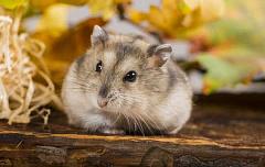 Les hamsters peuvent détenir la clé pour vaincre l'obésité