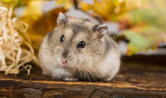 Hamsters mag die leidraad hou om vetsug te slaan
