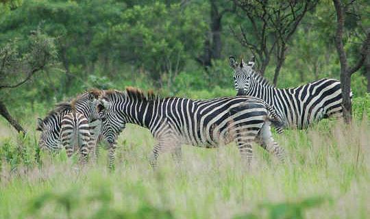 Por que as listras da Zebra são uma zona sem moscas para moscas