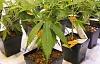 Le cannabis montre un potentiel pour traiter le SSPT