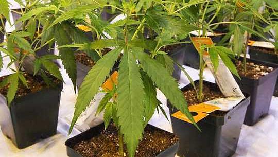 La cannabis mostra il potenziale per il trattamento della PTSD