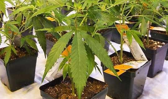 大麻顯示出治療PTSD的潛力
