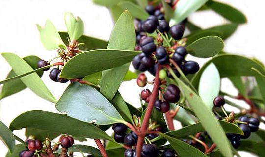 美味的杂草沙漠葡萄干植物