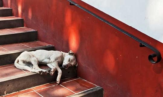 Honde help versprei hierdie gevaarlike Tick-borne Siekte