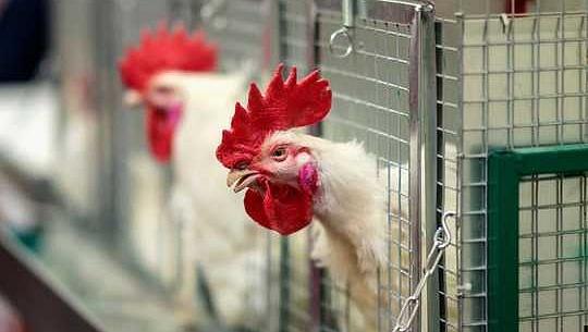 Cómo los pollos se convirtieron en el último símbolo del antropoceno