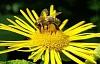 Las abejas pueden aprender números más altos de lo que pensábamos, si los entrenamos de la manera correcta