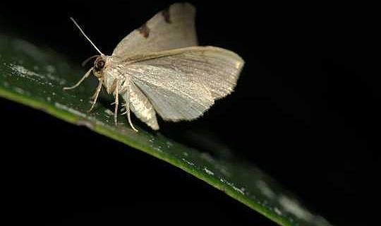 Las polillas hacen el turno nocturno de los polinizadores, y trabajan más duro que los insectos diurnos