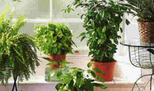 نباتات البيت الذي تحسين نوعية الهواء الداخلي؟