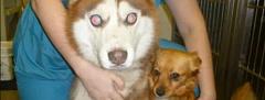अपने खुद के देखकर नेत्र कुत्ते के साथ एक ब्लाइंड कुत्ता?