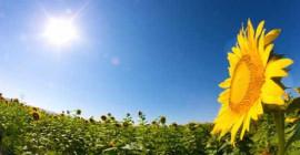 是什麼讓向日葵面對太陽?