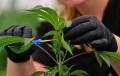 La marihuana se expande a 3 en más estados, pero ¿qué sucede con la legalización a nivel nacional?