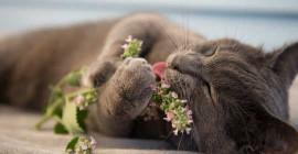 Est-il contraire à l'éthique de donner à votre chat une herbe à chat?