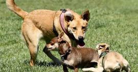 Groter Honde Oefen Klein By Hierdie Intelligensie Toets